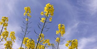 Rapeseed oil. With blue sky Stock Photography