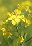 Rapeseed Oil or Canola Flowers Stock Image