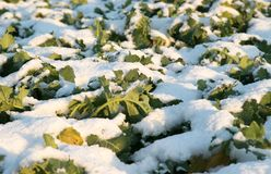 Crops in the snow. winter season growth Royalty Free Stock Photo