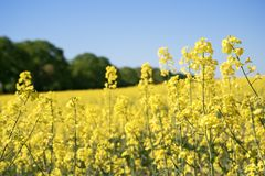Rapeseed or oilseed rape, yellow blooming plants in a field in front of a forest against a clear blue sky, selected focus, narrow. Depth of field stock images
