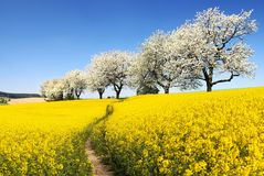 Rapeseed with parhway and alley cherry trees Royalty Free Stock Photo