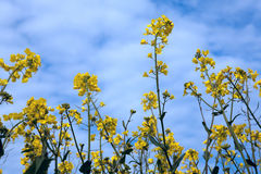 Rapeseed plant Royalty Free Stock Images