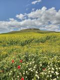 Rapeseed plant field. Rapeseed field near Molacillos village, Zamora, Spain Stock Images
