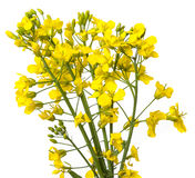 Rapeseed plant Stock Photography