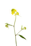 Rapeseed plant Royalty Free Stock Photography