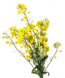Rapeseed plant. Isolated on white Royalty Free Stock Images