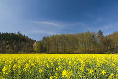 Rapeseed plants in the field Royalty Free Stock Photos