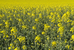 Rapeseed plants in the field Stock Image