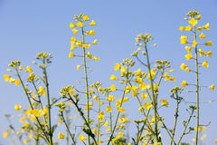 Rapeseed plants Stock Photos
