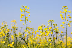 Rapeseed plants Stock Photo