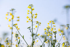 Rapeseed plants Royalty Free Stock Photos