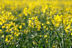 Rapeseed plants Stock Photography