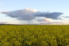 Rapeseed pola z dramatycznym niebem przy zmierzchem Zdjęcia Royalty Free