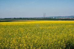 Rapeseed pole Obrazy Royalty Free