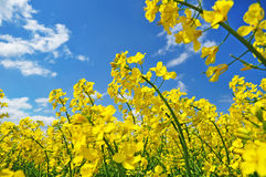 Canola rape agriculture Royalty Free Stock Photos