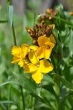 Rapeseed rośliny okwitnięcie Zdjęcie Royalty Free