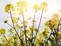 Rapeseed roślina Zdjęcia Royalty Free