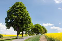 Rapeseed with road and alley Royalty Free Stock Photos