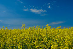 Rapeseed and Sky Stock Images