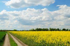 Rapeseed spring crop on farmland, member of the family Brassicaceae and cultivated mainly for its oil rich seed set against a dram. Rapeseed Brassica napus, also royalty free stock photos