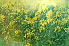 Rapeseed in spring - Rapeseed field Royalty Free Stock Photo