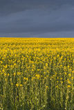Rapeseed storm Stock Photography