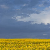 Rapeseed storm Royalty Free Stock Image