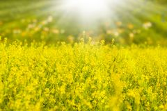 Rapeseed and sulight Royalty Free Stock Images