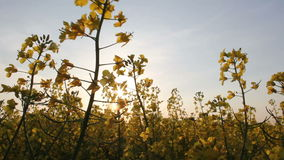 Rapeseed in the sun Royalty Free Stock Photo