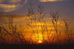 Rapeseed sunset silhouette (Brassica napus) Stock Photo