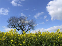 Rapeseed and Tree. Rapeseed crop and tree against blue cloudy sky Stock Photo