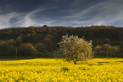 Rapeseed tree Stock Images
