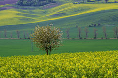 Rapeseed and tree Royalty Free Stock Photos