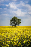 Rapeseed And Tree Royalty Free Stock Photography