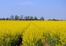 Rapeseed, Yellow, Canola, Field stock photos