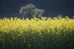 Rapeseed, Yellow, Canola, Field royalty free stock photos