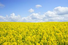 Rapeseed, Yellow, Canola, Field Royalty Free Stock Photography