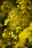 Rapeseed, Yellow, Canola, Mustard Plant stock photography