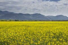 Rapeseed yellow field blu sky mountains Stock Photography