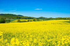 Rapeseed, Yellow, Field, Canola royalty free stock images