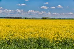 Rapeseed, Yellow, Field, Canola stock photography