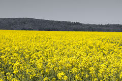 Rapeseed yellow field in spring Stock Photo