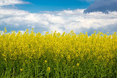 Rapeseed yellow field springtime view Royalty Free Stock Photo