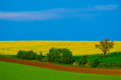 Rapeseed yellow fields in spring Stock Image