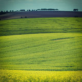 Rapeseed yellow fields in spring Royalty Free Stock Images