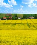 Rapeseed yellow flowers field Stock Image