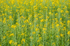 Rapeseed yellow flowers Stock Photo