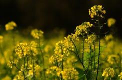 Rapeseed, Yellow, Mustard Plant, Canola royalty free stock photos