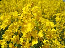 Rapeseed, Yellow, Mustard Plant, Flower stock photography