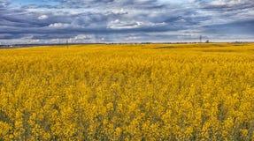Rapeseedfält i blom Arkivfoto